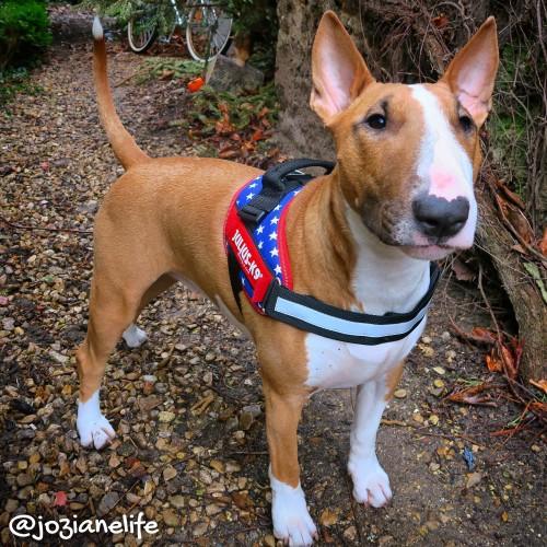 Collier, laisse et harnais - Harnais IDC Power Drapeau américain pour chiens