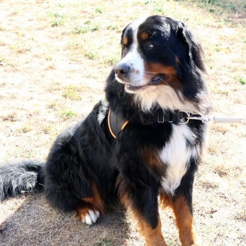 Comportement éducation - Multi Harnais Classic pour chiens