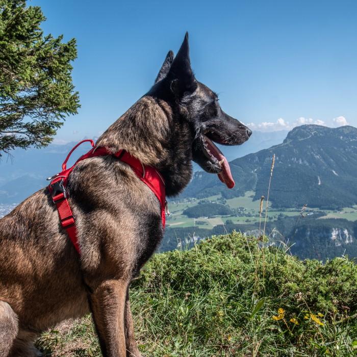 Collier, laisse et harnais - Harnais Momentum pour chien pour chiens