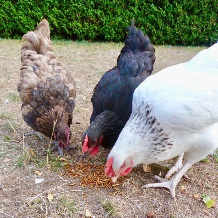 Friandise et complément poule - Vers de farine déshydratés pour poules