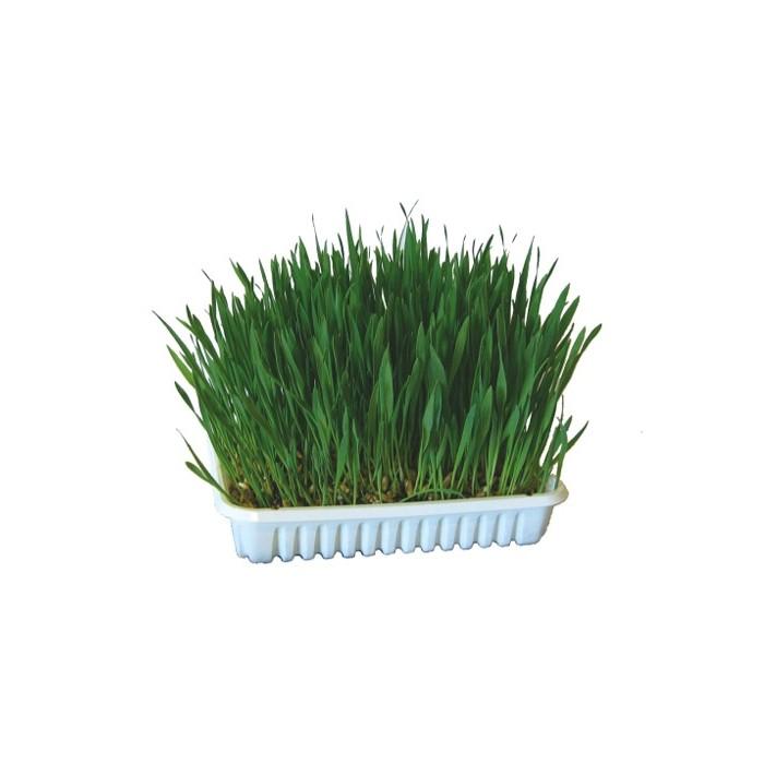 Friandise et complément  - Herbe à faire pousser pour rongeurs