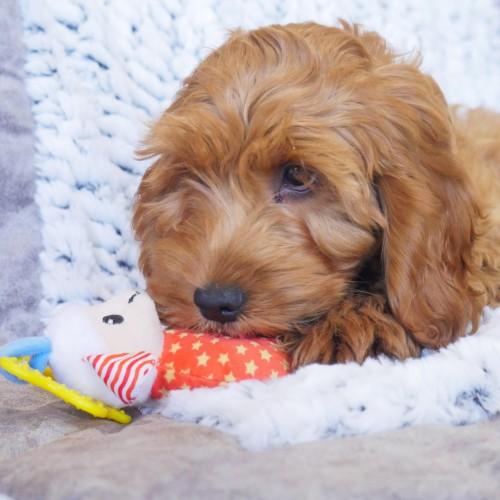 Jouet pour chien - Doudou Petit Agneau pour chiens