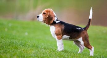 Lire la suite: Le Beagle