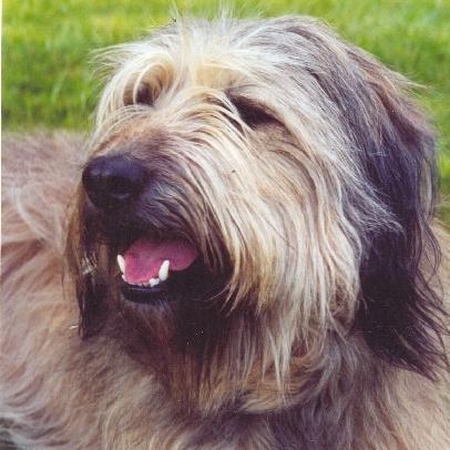 Le Berger catalan - Races de chiens - Accueillir un chien