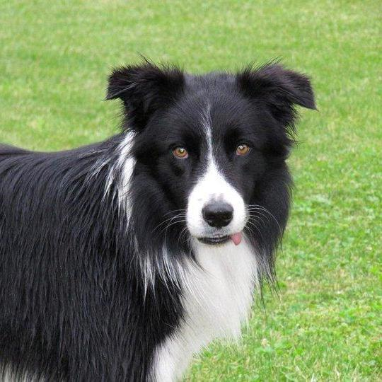 Lire la suite : Le Border Collie