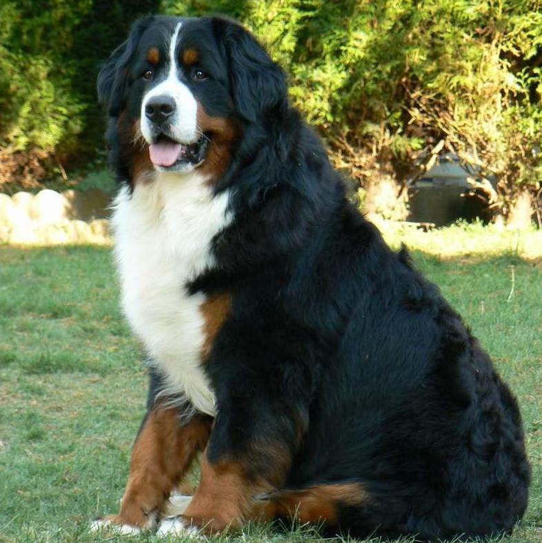 le bouvier bernois races de chiens accueillir un chien chiens. Black Bedroom Furniture Sets. Home Design Ideas