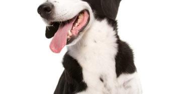 Lire la suite: Hépatite contagieuse canine ou hépatite de Rubarth
