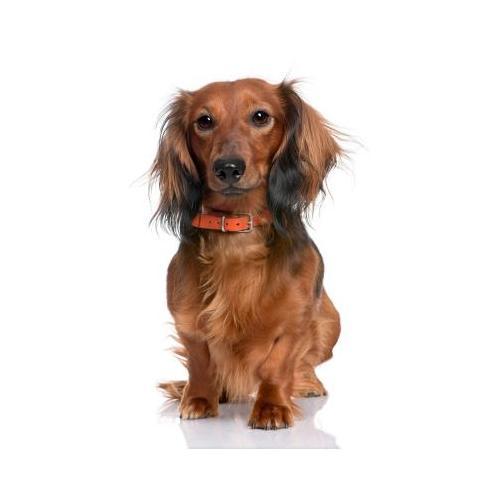 pourquoi les chiens perdent leurs poils