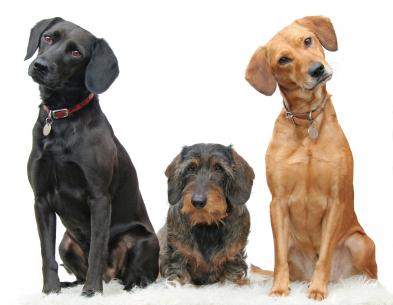 Trois chiens assis
