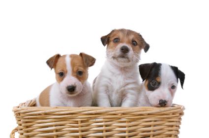 Prévoyez une visites avant l'adoption définitive, pour examiner les chiots
