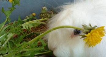 Lapin qui mange des pissenlits