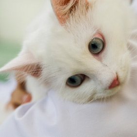 La teigne chez le chat , Dermatologie,du,chat , Santé , Chats