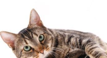 Les vomissements ne sont pas toujours pathologiques chez le chat