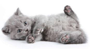 Faîtes contrôler votre chaton par un vétérinaire dès son achat