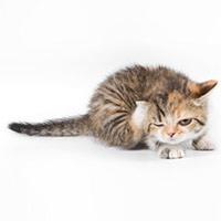 gale du corps chez le chat