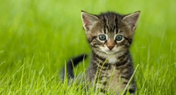 Besoins alimentaires du chaton