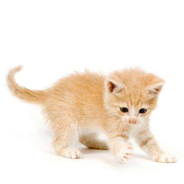 Adopter Un Chat Par Petites Annonces Wanimoveto