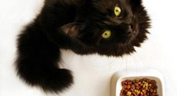 Chat devant sa gamelle de croquettes