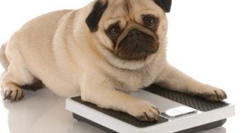 Lire la suite: L'obésité du chien