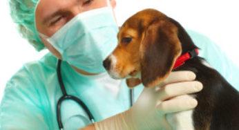 Chiot chez le vétérinaire