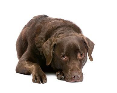Les coprophagie est l'ingestion d'excréments par le chien