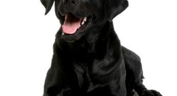 Chienne Labrador