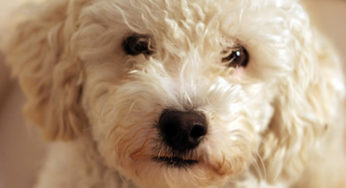 Lire la suite: La stérilisation chez la chienne