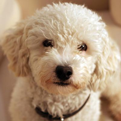 La st rilisation chez la chienne reproduction du chien sant chiens - Temps de portee d une chienne ...