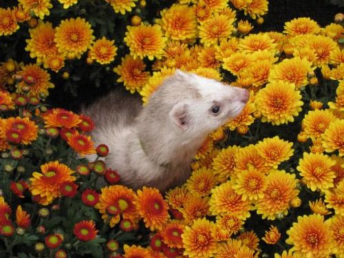 Furet dans les fleurs
