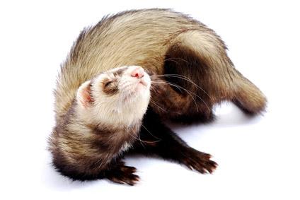 Lire la suite: Les affections parasitaires chez le furet