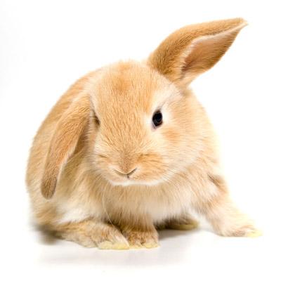Les affections de la peau chez les rongeurs et lapins - Photo de lapin a imprimer ...