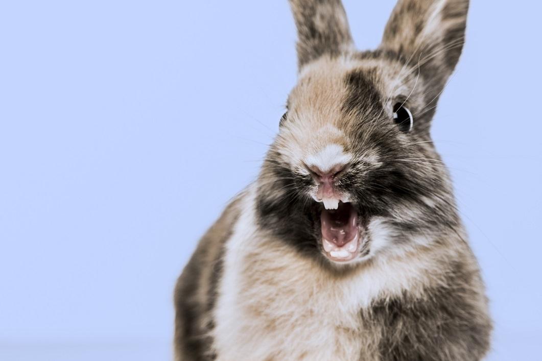 Les affections de la bouche chez les rongeurs et lapins