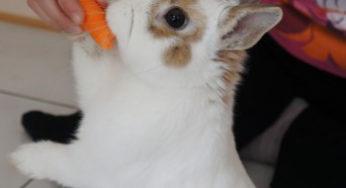 Le lapin Flocon mange une carotte