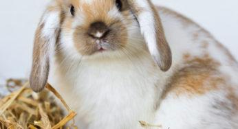 Lire la suite: Les maladies respiratoires chez les rongeurs et lapins