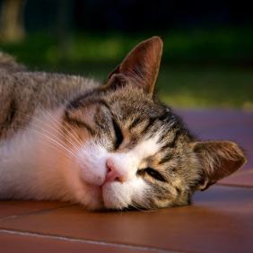 Le chat résiste assez bien aux fortes chaleurs