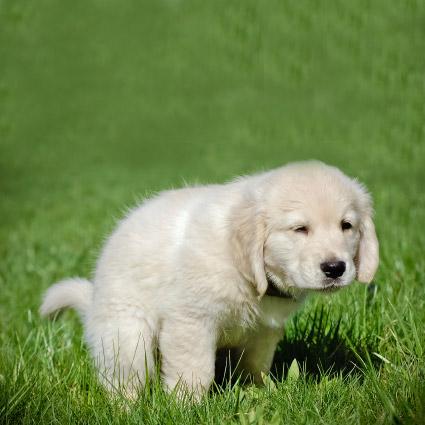 les affections des glandes anales chez le chien m decine g n rale du chien sant chiens. Black Bedroom Furniture Sets. Home Design Ideas