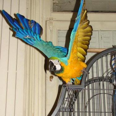 Lire la suite: Les perroquets d'Afrique et d'Amérique du Sud