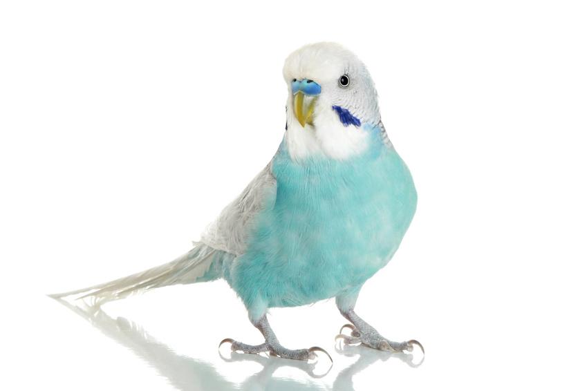 perruche bleue