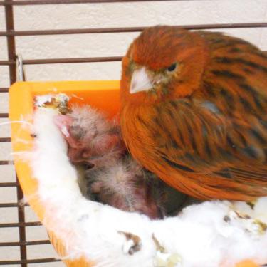 Canari dans son nid