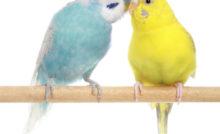 Deux perruches