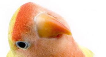 Oiseau inséparable