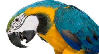 Perroquet avec difficultés respiratoires