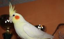Les petits psittacid s les becs crochus les for Oiseau domestique interieur