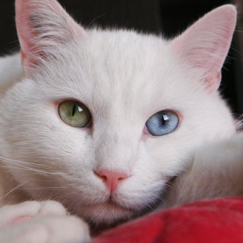 Chat blanc aux yuex vairons