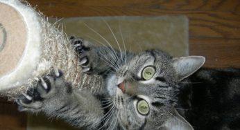 Le chat marque son territoire
