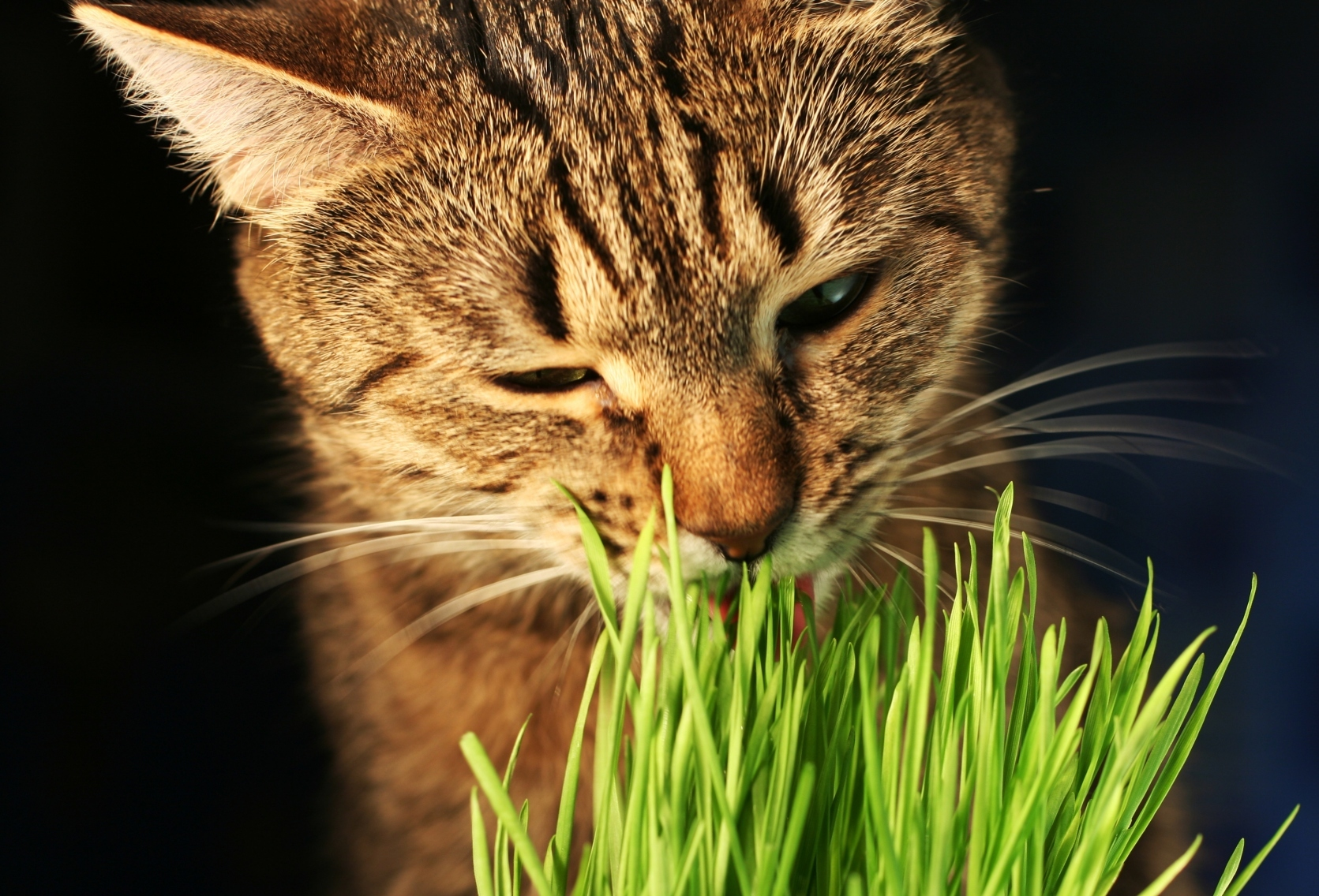 Chat devant herbe à chat