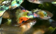 Guppy en aquarium