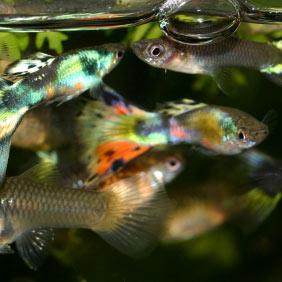 Poissons for Poisson pour aquarium eau douce