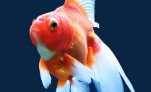 Lire la suite: Traitement des maladies chez les poissons d'aquarium