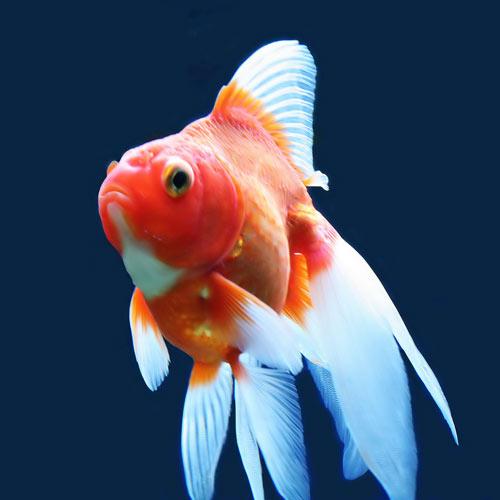 Traitement des maladies chez les poissons d 39 aquarium les for Tarif poisson rouge